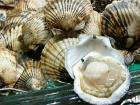 Морской гребешок – съедобный моллюск
